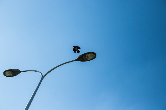 crow flying past street lights