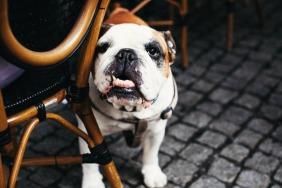bulldog-under-table-at-restaurant-small