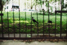 2-crows-in-grass-small
